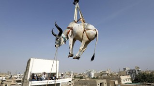 FOTO: Menonton Sapi Kurban 'Turun' dari Atap Jelang Iduladha