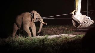 2 Gajah Liar di Riau Dievakuasi Usai Rusak Kebun Warga