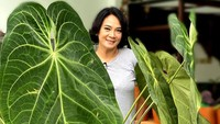 <p>Tak hanya philodendron mercy yang berukuran besar, Dian Nitami juga punya tanaman hias magnificum norte, Bunda. Ia membeli tanaman ini langsung dari Banyuwangi yang diantar dengan kereta, lho. (Foto: Instagram: @bu_deedee)</p>