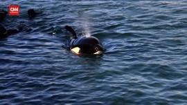 VIDEO: Bayi Paus Orca Terdampar di Selandia Baru