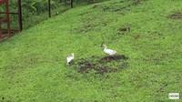 <p>Prada dan sang suami, Chanee Kalaweit, adalah pecinta hewan dan satwa liat, Bunda. Mereka memiliki banyak peliharaan, lho. Misalnya saja bebek ini. (Foto: YouTube Prada Kalaweit)</p>