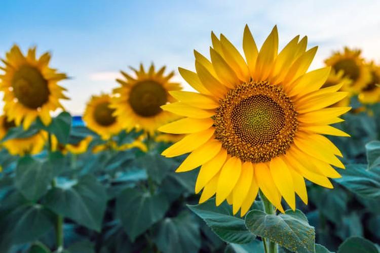 Bunga matahari mempunyai daya tarik tersendiri karena keindahannya. Bunda pun bisa mencoba menanam sendiri bunga matahari di rumah, simak tujuh tipsnya yuk.