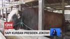 VIDEO: Penampakan Sapi Kurban Presiden Jokowi