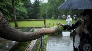 FOTO: Kelana Gajah China Merana Kehilangan Habitat
