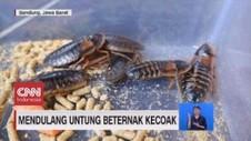 VIDEO: Mendulang Untung Beternak Kecoak dan Lobster