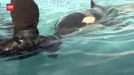VIDEO: Kisah Malang Bayi Orca Terdampar, Terpisah dari Induk