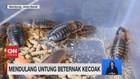 VIDEO: Beternak Kecoak Hingga Budidaya Lobster Darat