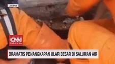 VIDEO: Dramatis Penangkapan Ular Besar di Saluran Air