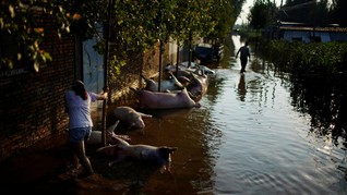 FOTO: Bangkai Babi Berserakan akibat Banjir di Henan China