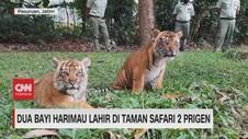 VIDEO: Dua Bayi Harimau Lahir Di Taman Safari 2 Prigen