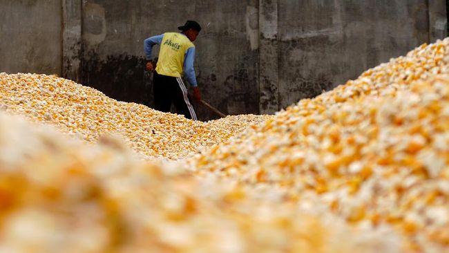 Kementan membenarkan kenaikan harga jagung untuk pakan ternak. Namun, ia memastikan kenaikan harga bukan karena stok yang saat ini terbilang cukup.