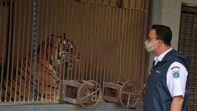 Dua harimau Sumatera bernama Hari dan Tino di Taman Margasatwa Ragunan (TMR) terkonfirmasi positif covid-19.