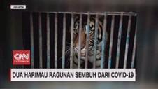 VIDEO: Dua Harimau Ragunan Sembuh dari Covid-19
