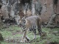 Harimau Ragunan Positif Covid-19, Minim Data Tularkan Manusia