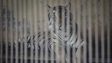 IPB soal Harimau Ragunan Positif Corona: Tak Menular ke Orang