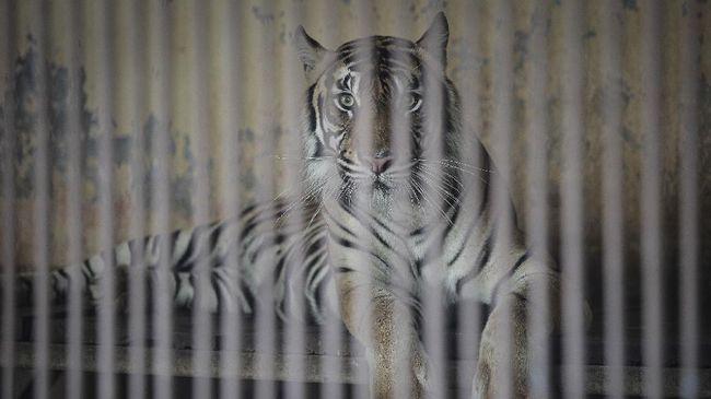 IPB menanggapi dua harimau sumatera (Panthera tigris sumatrae) di Taman Margasatwa Ragunan Jakarta, yang positif COVID-19.