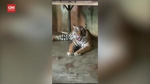 VIDEO: Kondisi Dua Harimau Positif Covid-19 di Ragunan