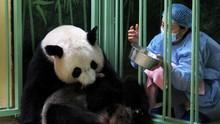 FOTO: Gembira Sambut Kelahiran Bayi Kembar Panda
