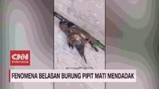 VIDEO: Fenomena Belasan Burung Pipit Mati Mendadak