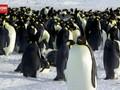 VIDEO: Penguin Kaisar Diusulkan Masuk Hewan Terancam Punah