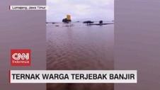 VIDEO: Ternak Warga Terjebak Banjir