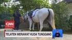 VIDEO: Sehari Menjadi Perawat Kuda Tunggang