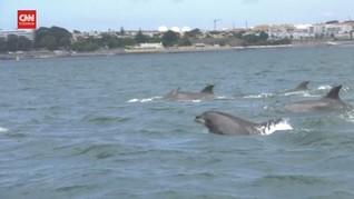 VIDEO: Polusi Berkurang, Lumba-lumba Kembali ke Portugal