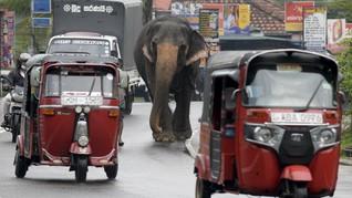 Gajah di Sri Lanka Wajib Punya 'KTP' dan Dilarang Begadang