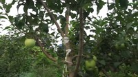 <p>Tak hanya itu, ternyata mertua Yannie Kim juga memiliki kebun apel di rumahnya lho, Bunda. Apel bahkan terlihat siap dipanen. (Foto: YouTube Yannie Kim)</p>