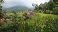 <p>Area sawah yang berada di sekeliling rumah Haji Usman Bimantara membuat suasana jadi semakin tenang. Setiap musim panen, sawah tersebut juga dipanen oleh para petani yang ada di sana. (Foto: YouTube Petualangan Alam Desaku)</p>