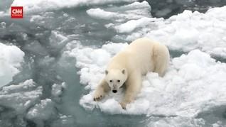 VIDEO: Saat Beruang Kutub Rusia Terdesak Perubahan Ekosistem