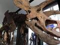 VIDEO: Fosil Triceratops Terbesar Dilelang di Paris