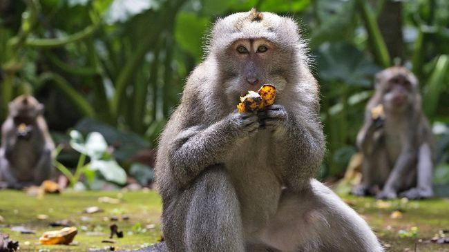 Jika Bali punya Desa Sangeh yang mendapat sebutan sebagai Monkey Forest, maka di Jawa Tengah ada kawasan serupa, di Desa Cikakak, Banyumas.