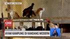 VIDEO: Sehari Menjadi Peternak Ayam Kampung