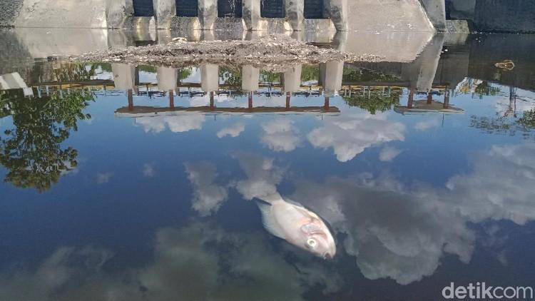 Ribuan ikan dari berbagai jenis di anak sungai Bengawan Solo, Sungai Dengkeng, Kecamatan Cawas, Klaten mati mendadak. Ini foto-fotonya!