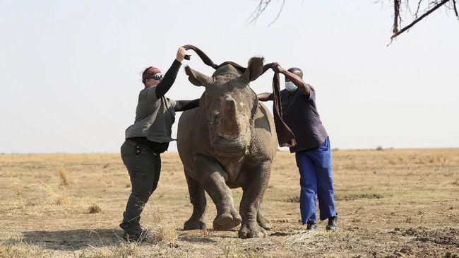 Peternak badak di Afrika merasa sudah melestarikan badak, namun mereka kehabisan dana dan berniat menjual cula dengan cara legal.