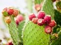 4 Manfaat Ekstrak Buah Kaktus untuk Kulit, Obati Jerawat