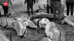 VIDEO: 1.400 Lumba-lumba Dibantai Demi Tradisi Warga Faroe