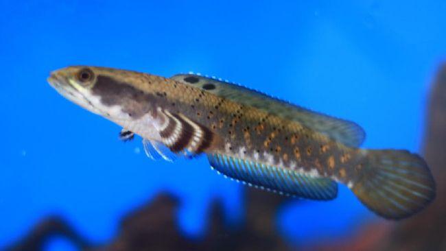 Ikan Channa akhir-akhir ini ramai dibicarakan kalangan pecinta hewan dan memiliki harga jutaan. Berikut cara memelihara ikan Channa.