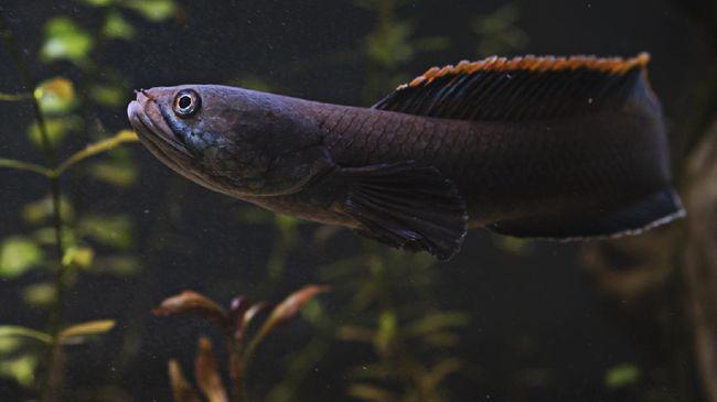 Popularitas ikan cupang mungkin sebentar lagi bakal digeser oleh keluarga ikan gabus, Channa. Apa itu ikan gabus hias Channa?