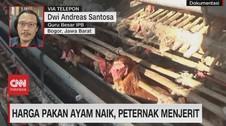 VIDEO: Harga Pakan Ayam Naik, Peternak Menjerit