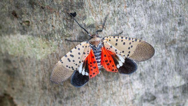 Departemen Taman dan Rekreasi New York meminta masyarakat yang menemukan atau melihat lalat lentera tutul untuk segera membunuhnya.