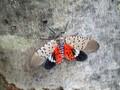 Lalat Lentera Tutul Menebar Ancaman di New York