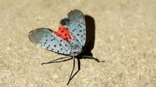 Mengenal Lalat Lentera Tutul yang Menyerang New York