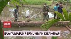 VIDEO: Buaya Masuk Pemukiman Warga