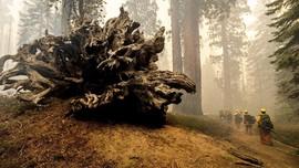 FOTO: Pohon Raksasa Terancam Dijilat Api