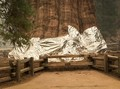 Pohon Raksasa di Taman Nasional AS Dibungkus Aluminium Foil