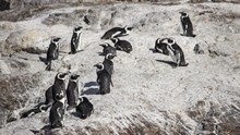 63 Penguin Terancam Punah di Afsel Tewas Disengat Lebah Madu