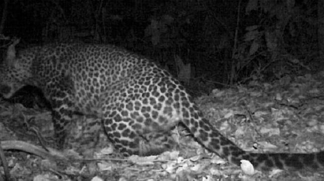 Terekamnya macan tutul di hutan Gunung Sanggabuana Karawang itu disebut menjadi salah satu bahan proposal menjadikan wilayah itu jadi kawasan konservasi.