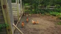 <p>Tak hanya kuda, di sana juga terdapat peternakan ayam pribadi yang tak begitu besar. Kata Sacha, setiap hari ayam-ayam tersebut bertelur dan menguntungkan keluarga Pamannya.(Foto: YouTube Sacha Stevenson)</p>